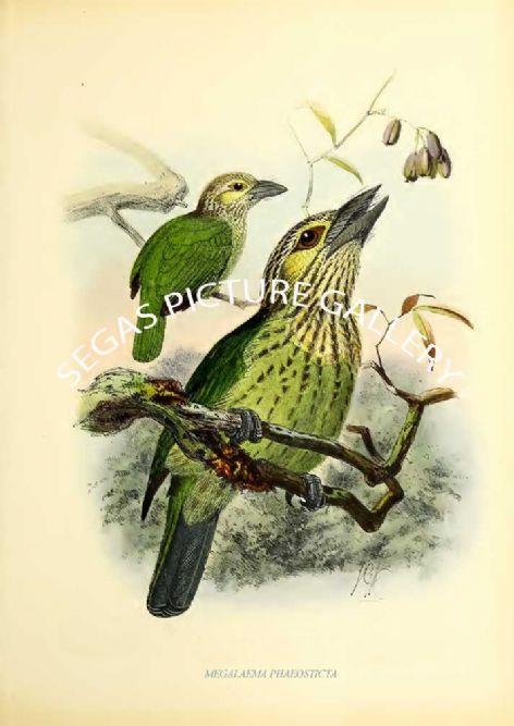 Fine art print of the MEGALAEMA PHAEOSTICTA by J G Keulemans (1871)